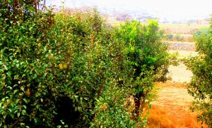 fruit trees al namas saudi arabia