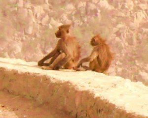 hamadryas baboons al baha saudi arabia