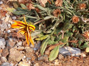 wildflower al baha saudi arabia