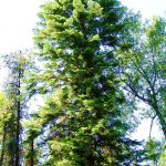 abies grandis red fir Eastern Washington