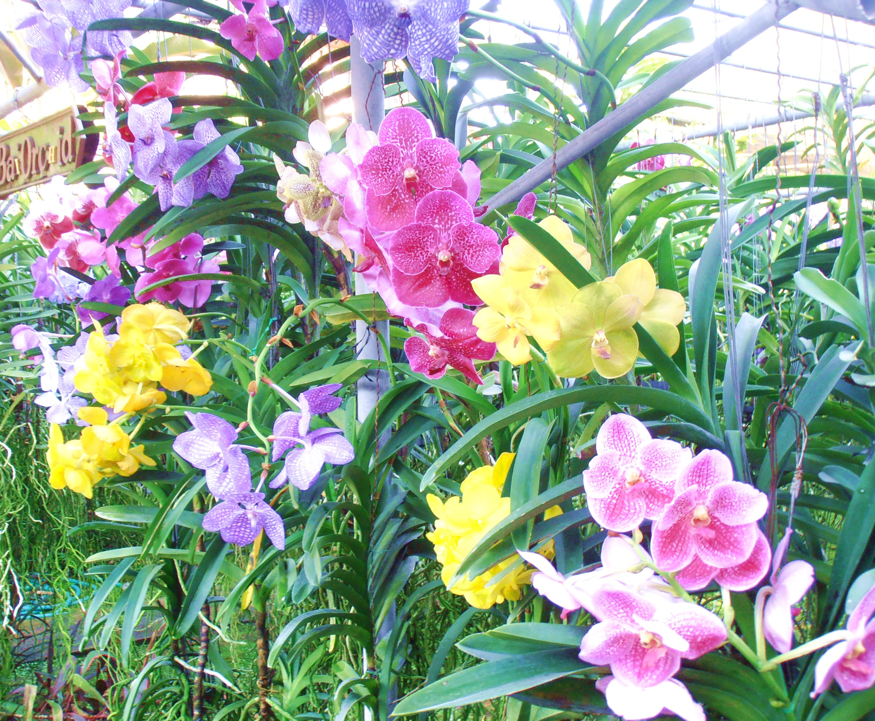 Chiang Mai Thailand Orchids