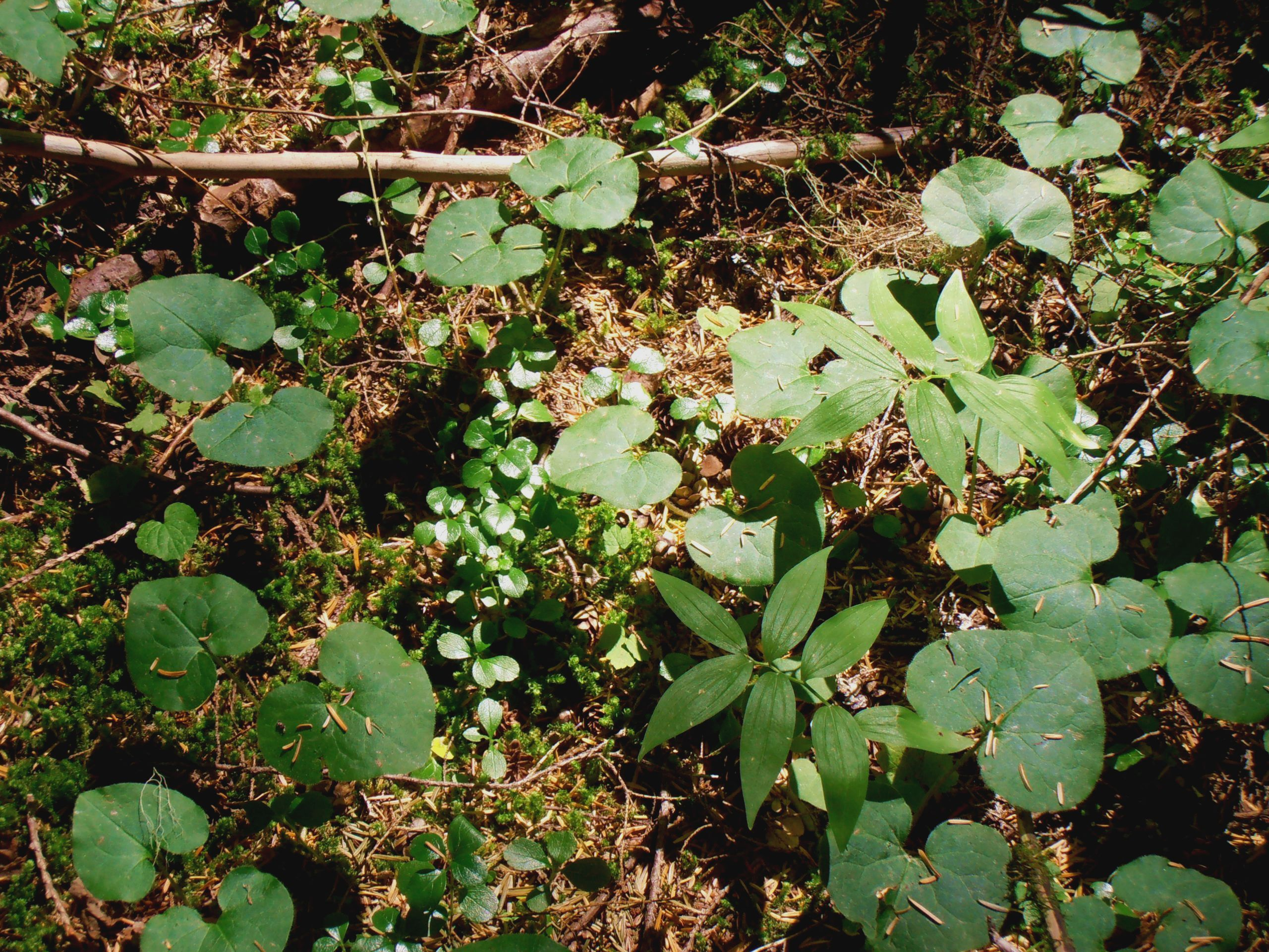Priest Lake Idaho forest plants
