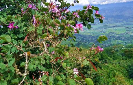 Bauhinia, Belalcazar, Caldas, Colombia