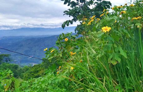 Chrysanthemum, Belalcazar, Caldas, Colombia