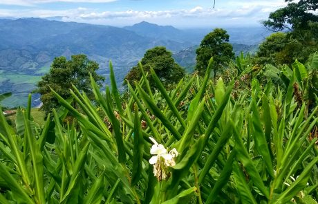Ginger, Belalcazar, Caldas, Colombia