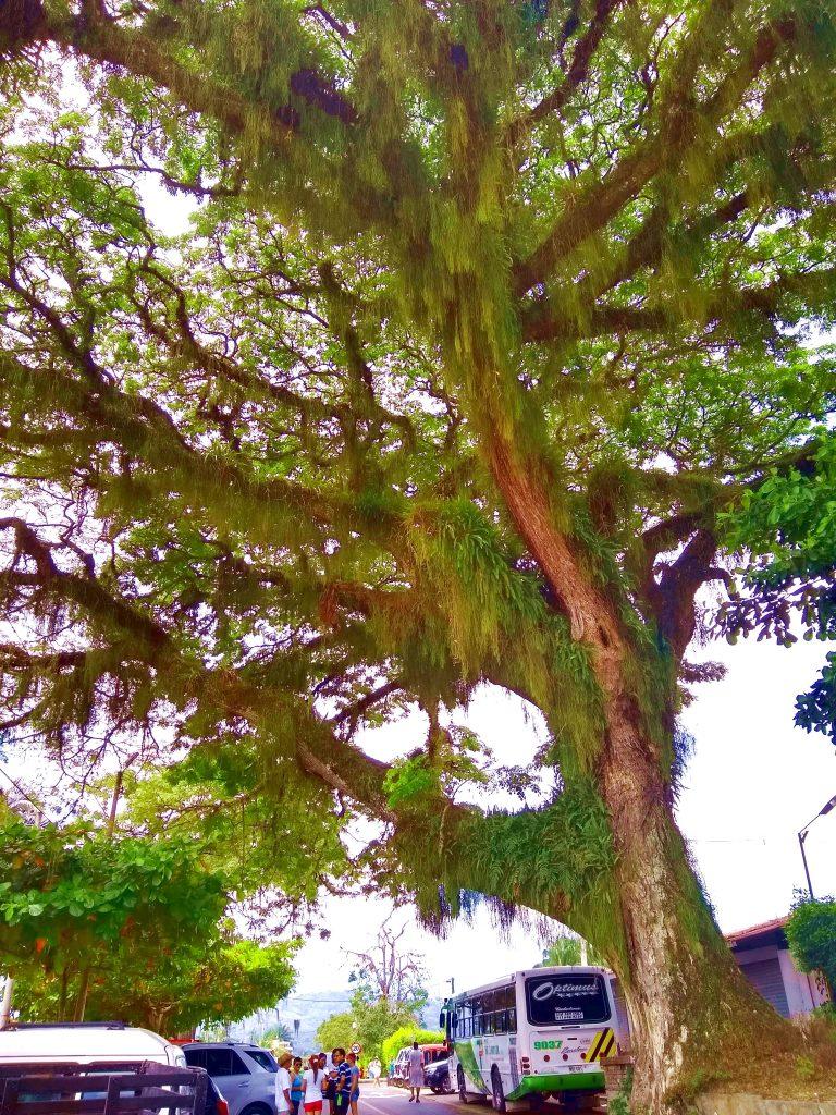 Acacia tree, La Rochela, Caldas, Colombia