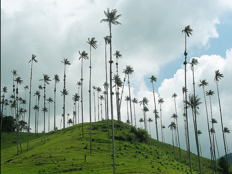 Wax palms in Colombia