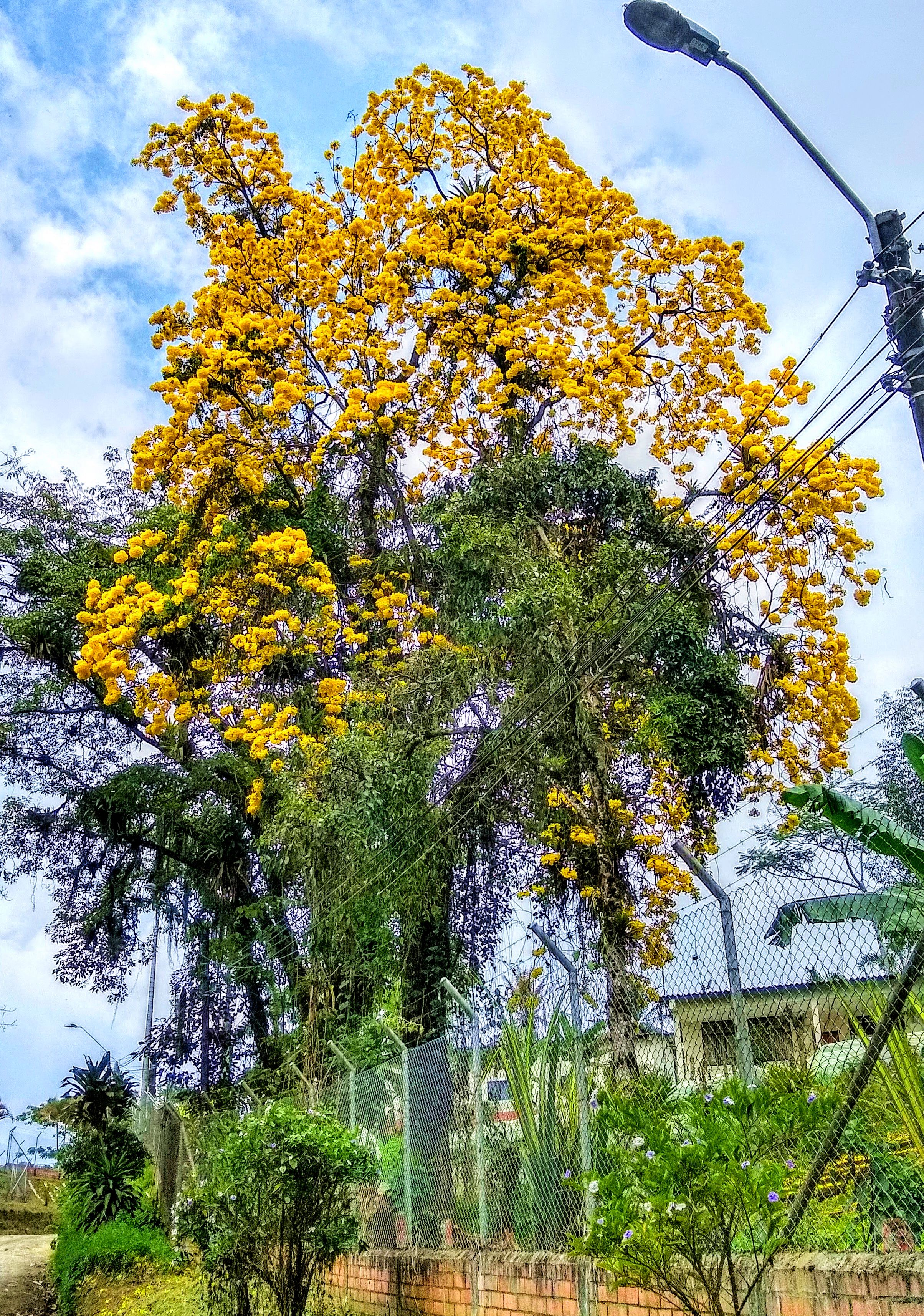 Santa Rosa de Cabal, Tabebuia tree