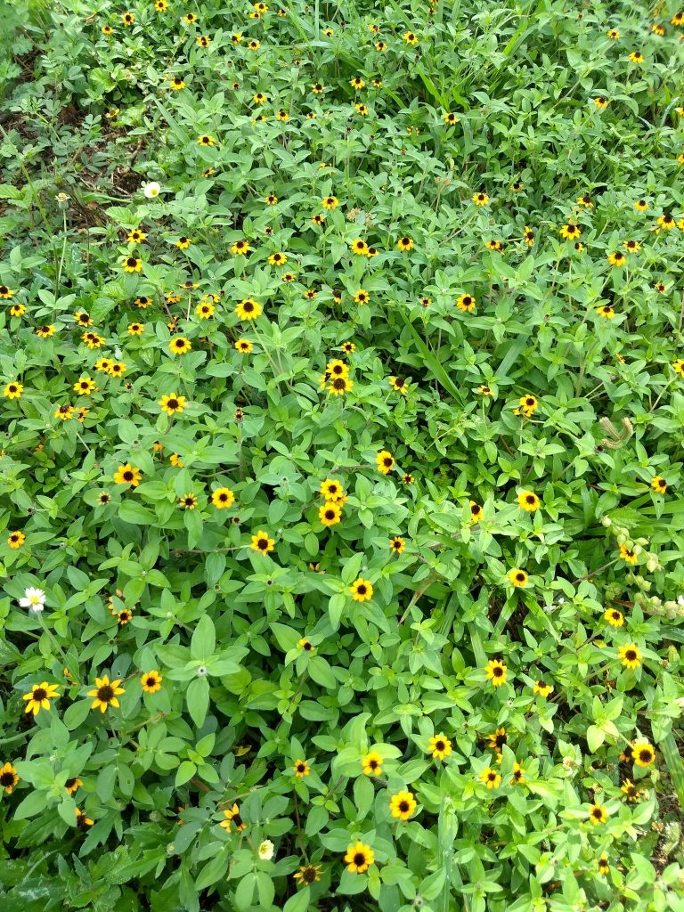 Dzibilchaltun wildflowers