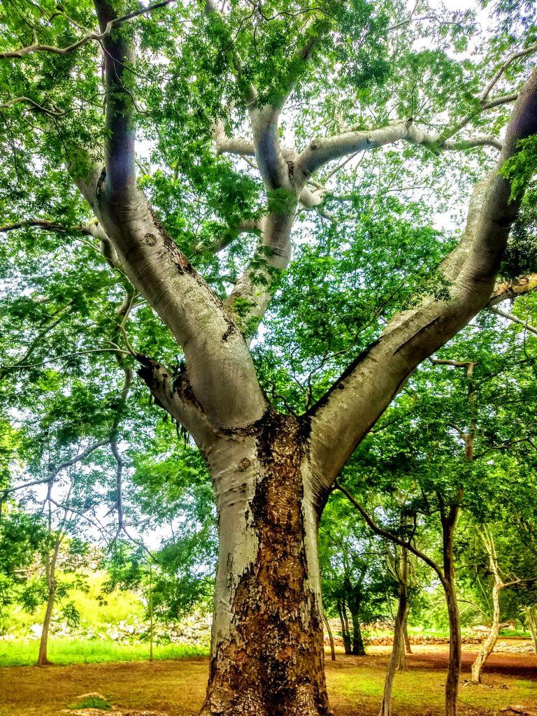 Labnah, Kapok Tree