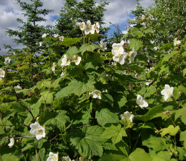 Thimbleberry in flower