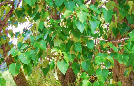 Black cottonwood foliage