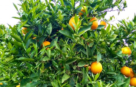 Orange trees near Exeter, CA