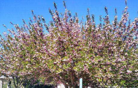 Flowering cherry, Asheville, NC