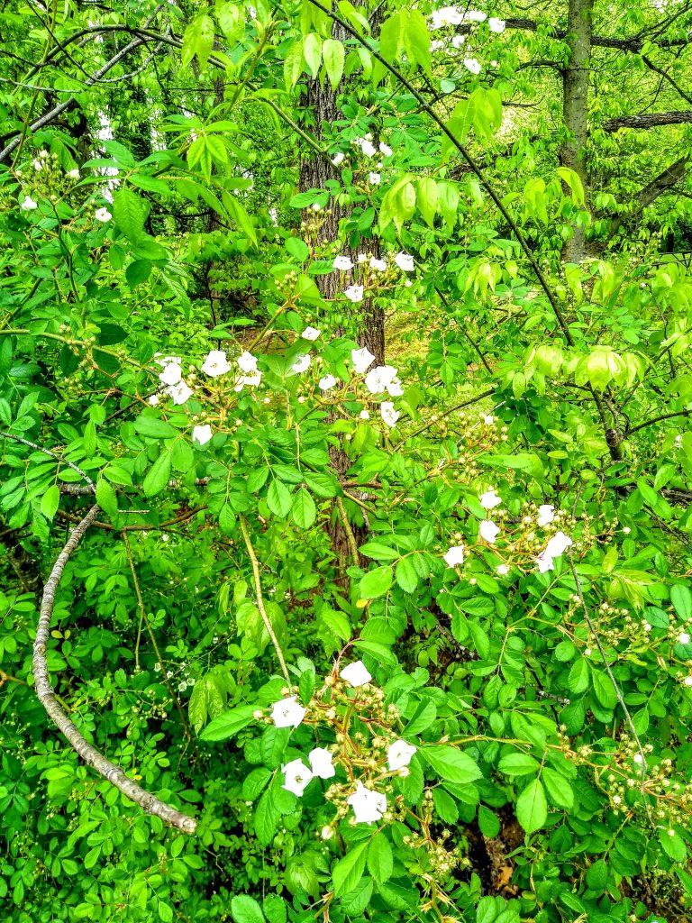 Wild rose, Historic Bethabara, Winston-Salem, NC