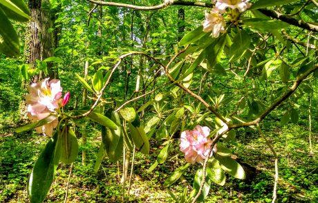 Rhododendron, Reynolda Gardens woodland, Winston-Salem, NC